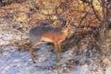The smallest antelope of Namibia - a Damara Dik-Dik with a shoulder height below 40 cm.