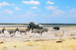 Diversity in the Etosha National Park: on the right a springbok and an ostrich, on the left zebras gallop through the picture, behind are elephants and oryx antelopes.