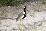 The Northern Black Korhaan has an eye-catching marking and is quite common in Namibia.