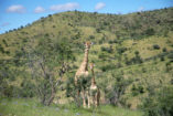 Giraffes at Daan Viljoen Game Park. In the background are the typical hills of the Khomas Highland.