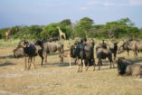 In the foreground are blue wildebeest, giraffes are feeding in the background.