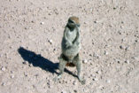 A Cape ground squirrel can be seen quite often in Namibia.