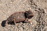 A Namaqua chameleon in the Namib.