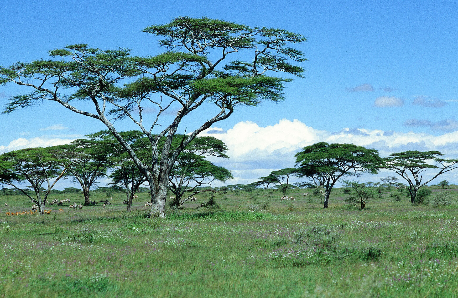 Umbrella thorn acacias (Vachellia tortilis, formerly Acacia tortilis) in the East African Serengeti are the epitome of a savanna landscape.