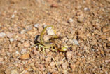 Scorpions are rarely seen during the day, as they hide - for example from hungry hornbills - under stones or in fissures.