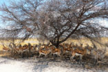 A larger herd of springbok is looking for shade in the midday sun.