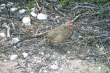 A Swainson's Francolin is just coming out of the bush.