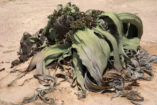 A large female Welwitschia plant, which, like any other Welwitschia, consists of only two leaves.